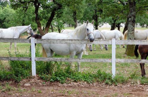 Lipizzaner paard in de weiland samen met andere merries & veulens